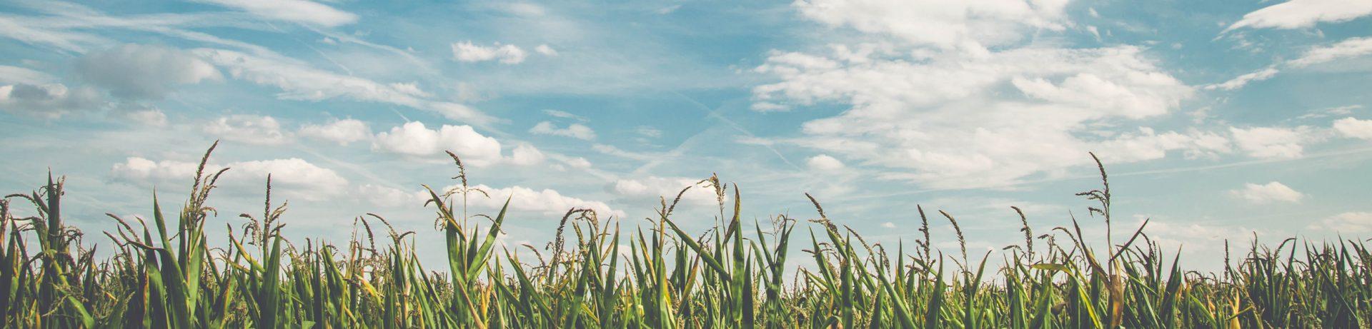 AHV field with corn